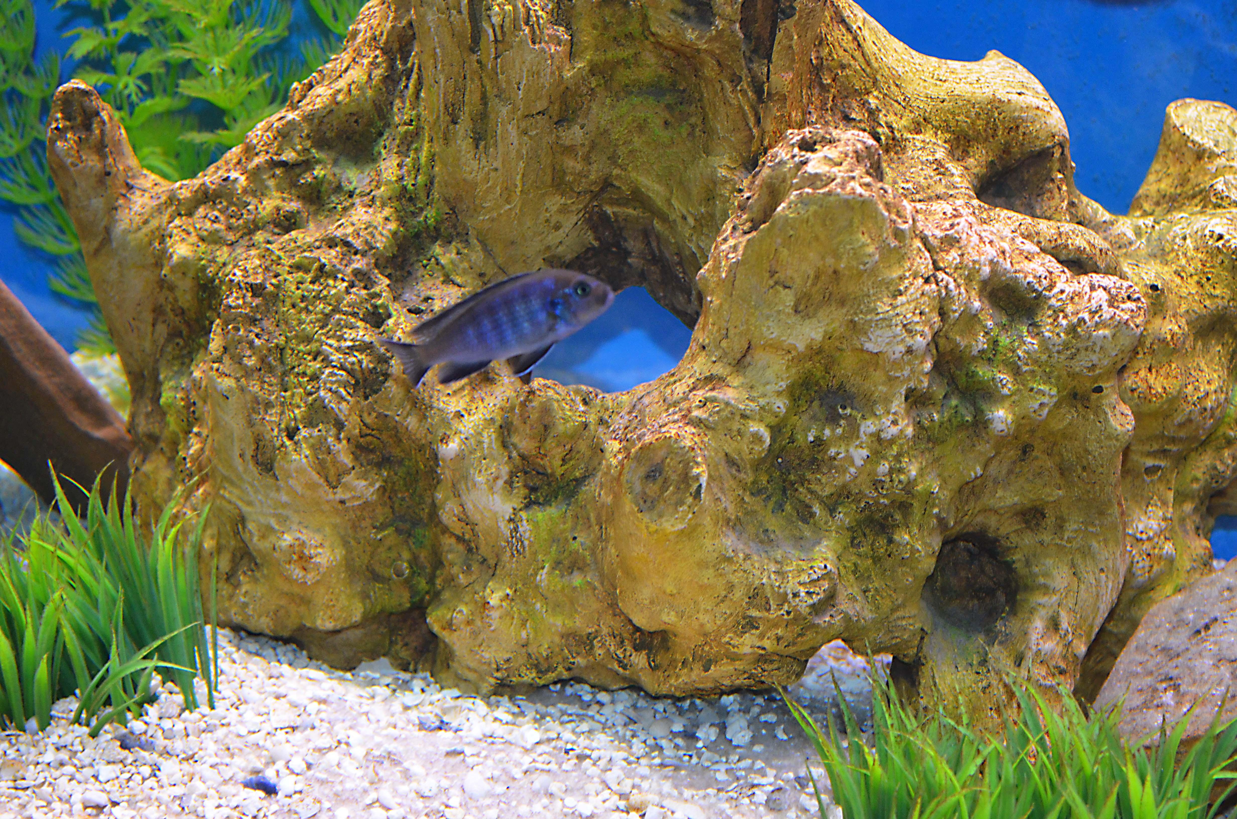 cichlids.com: Purple Lupingu