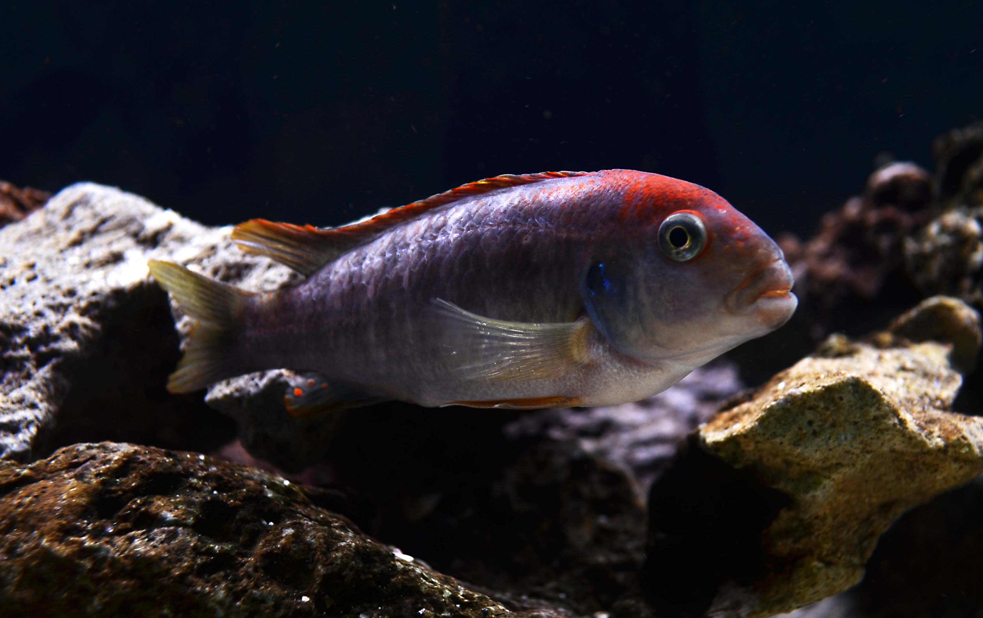 cichlids.com: Red Top Ndumbi
