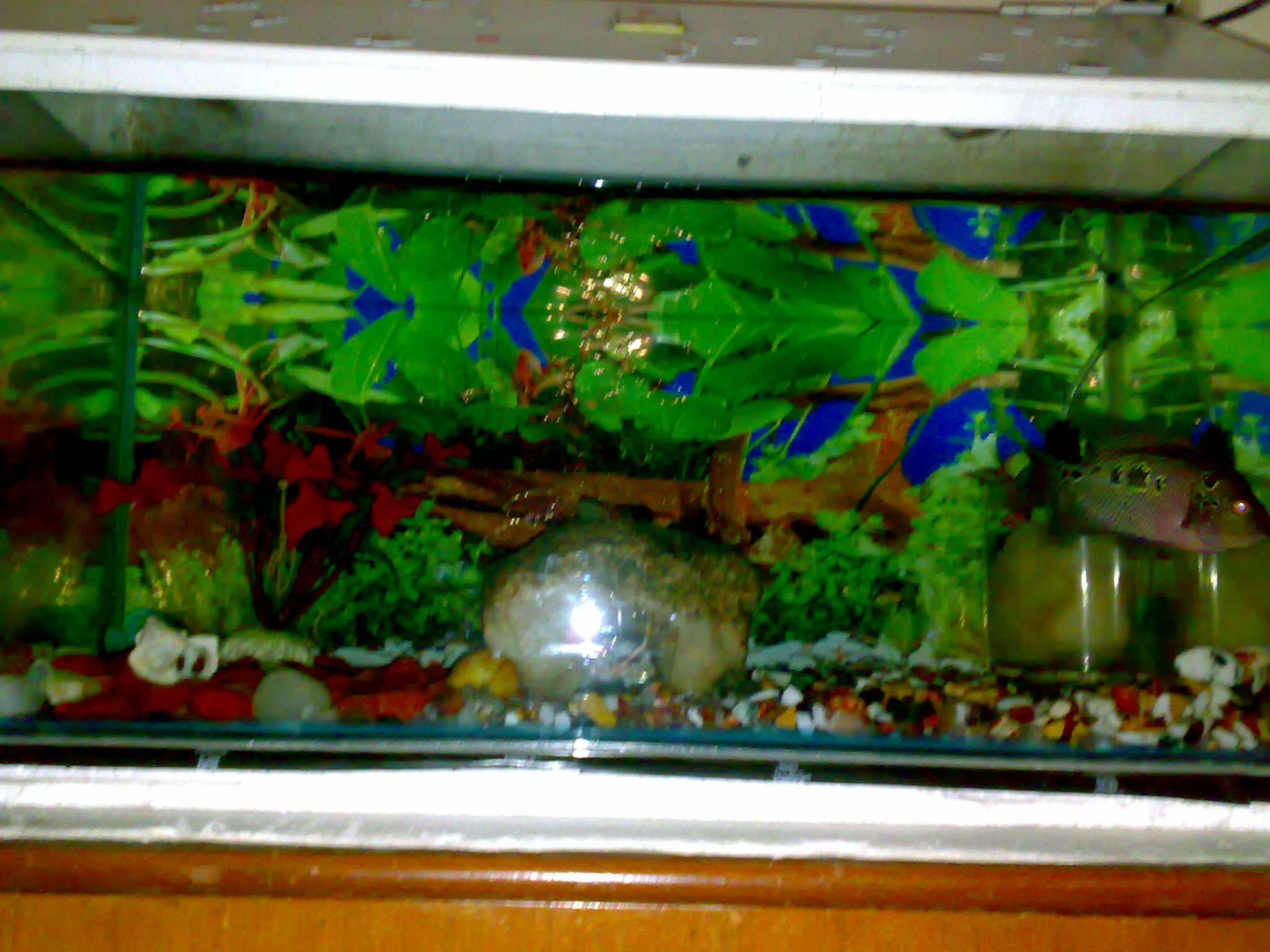 Flowerhorn Cichlid Tank Setup Pictures to Pin on Pinterest ...