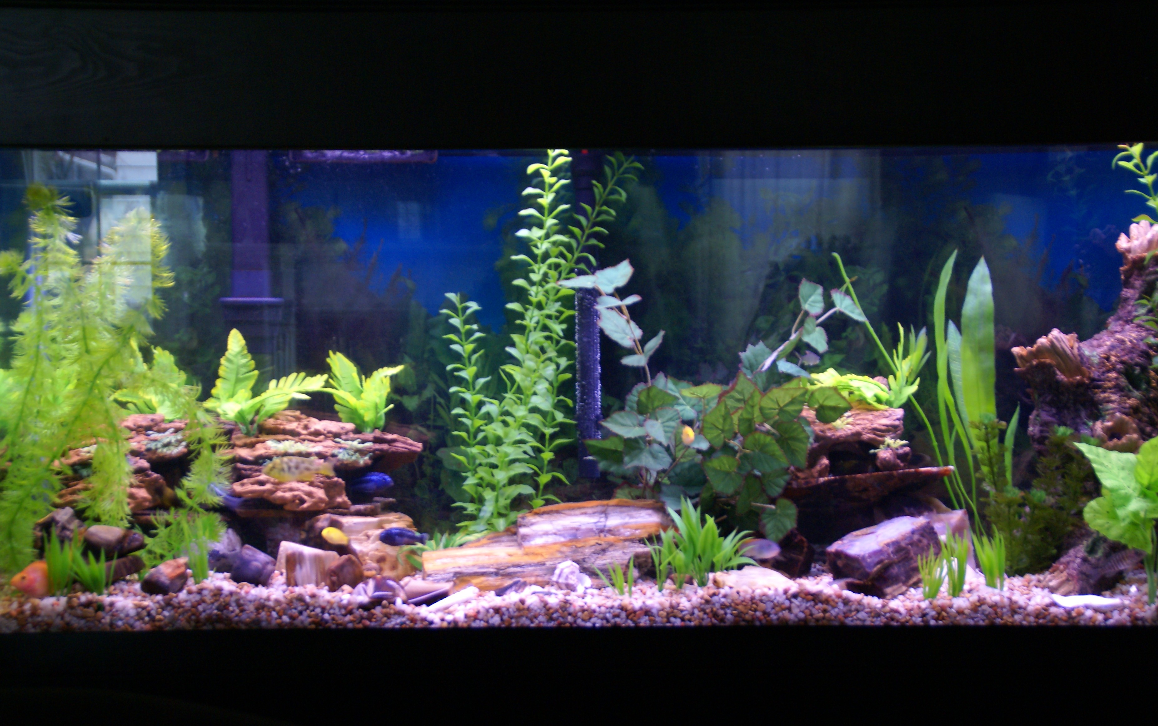 Cichlids Com Petrified Aquascape