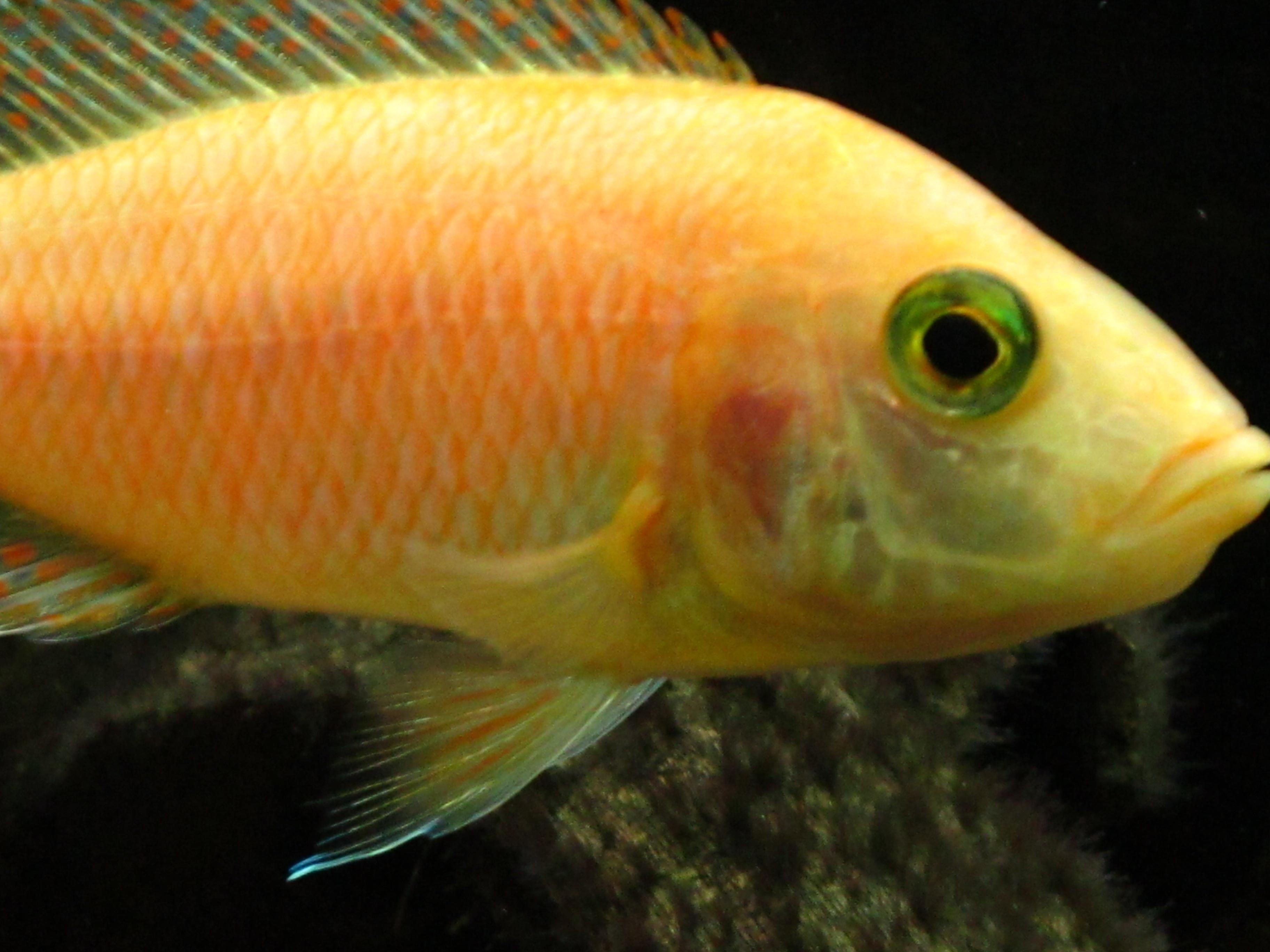cichlids.com: for Nate