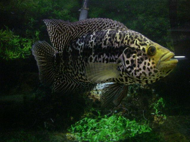 Jaguar Cichlid  : cichlids.com: parachromis managuensis / jaguar cichlid