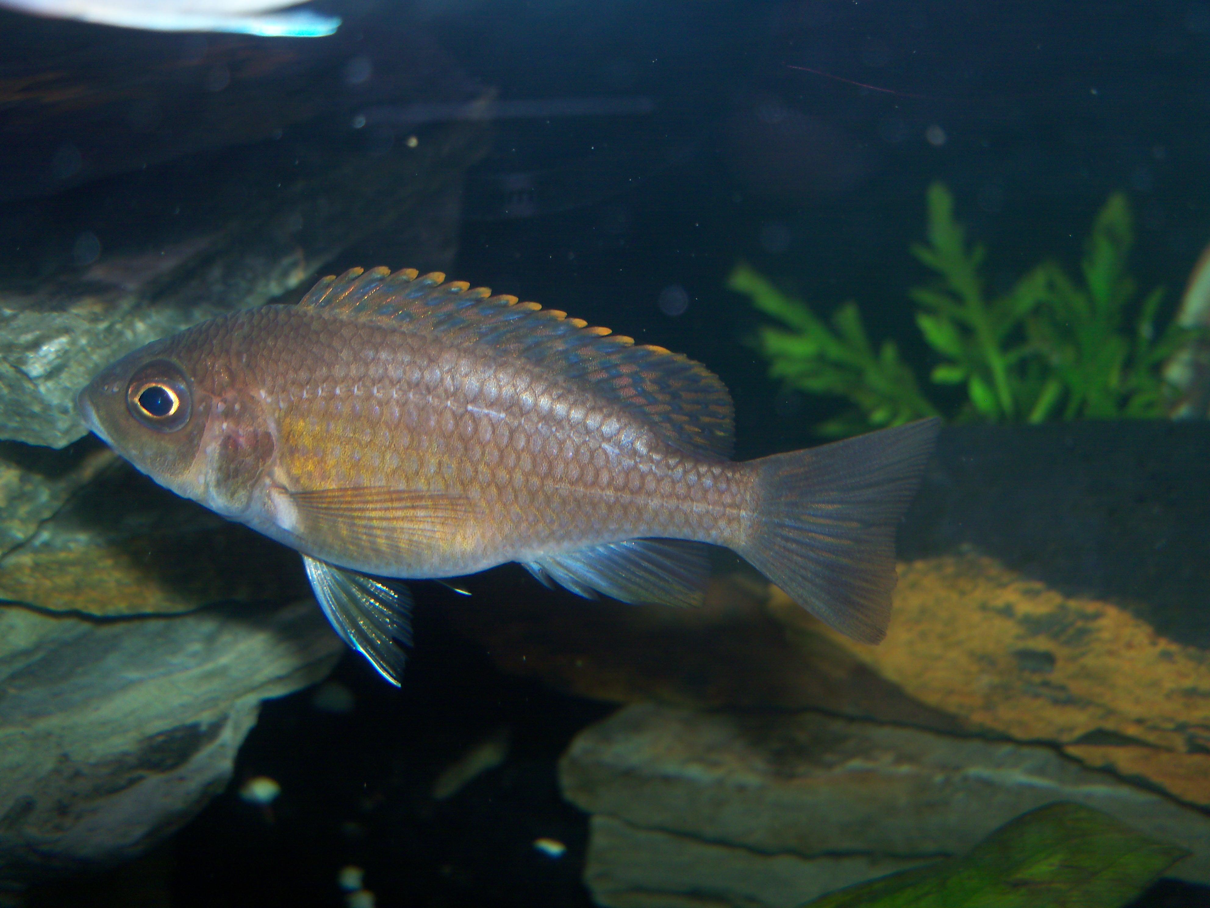Ruby red cichlid female - photo#23