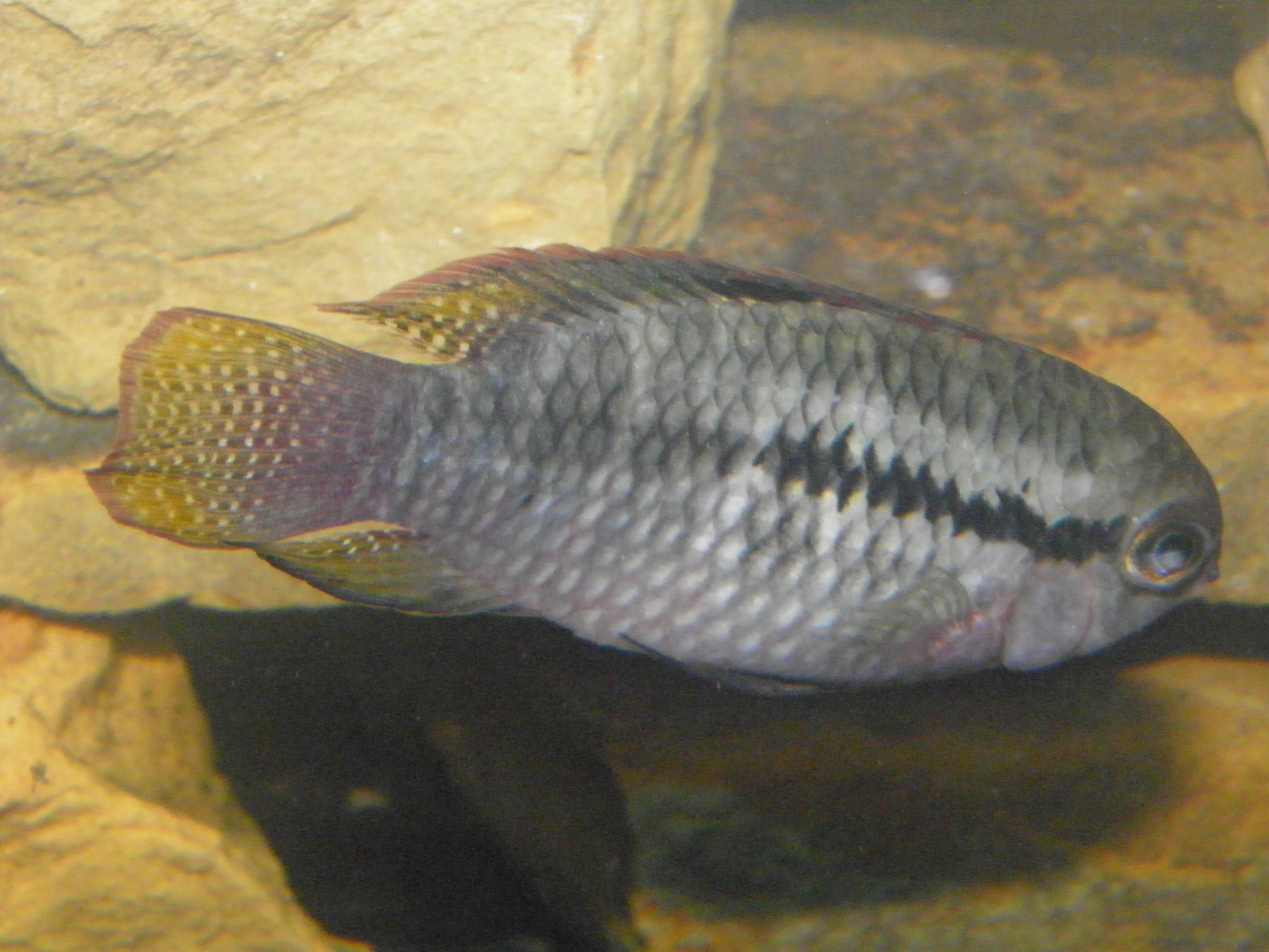 cichlids.com: Dwarf Flag Cichlid