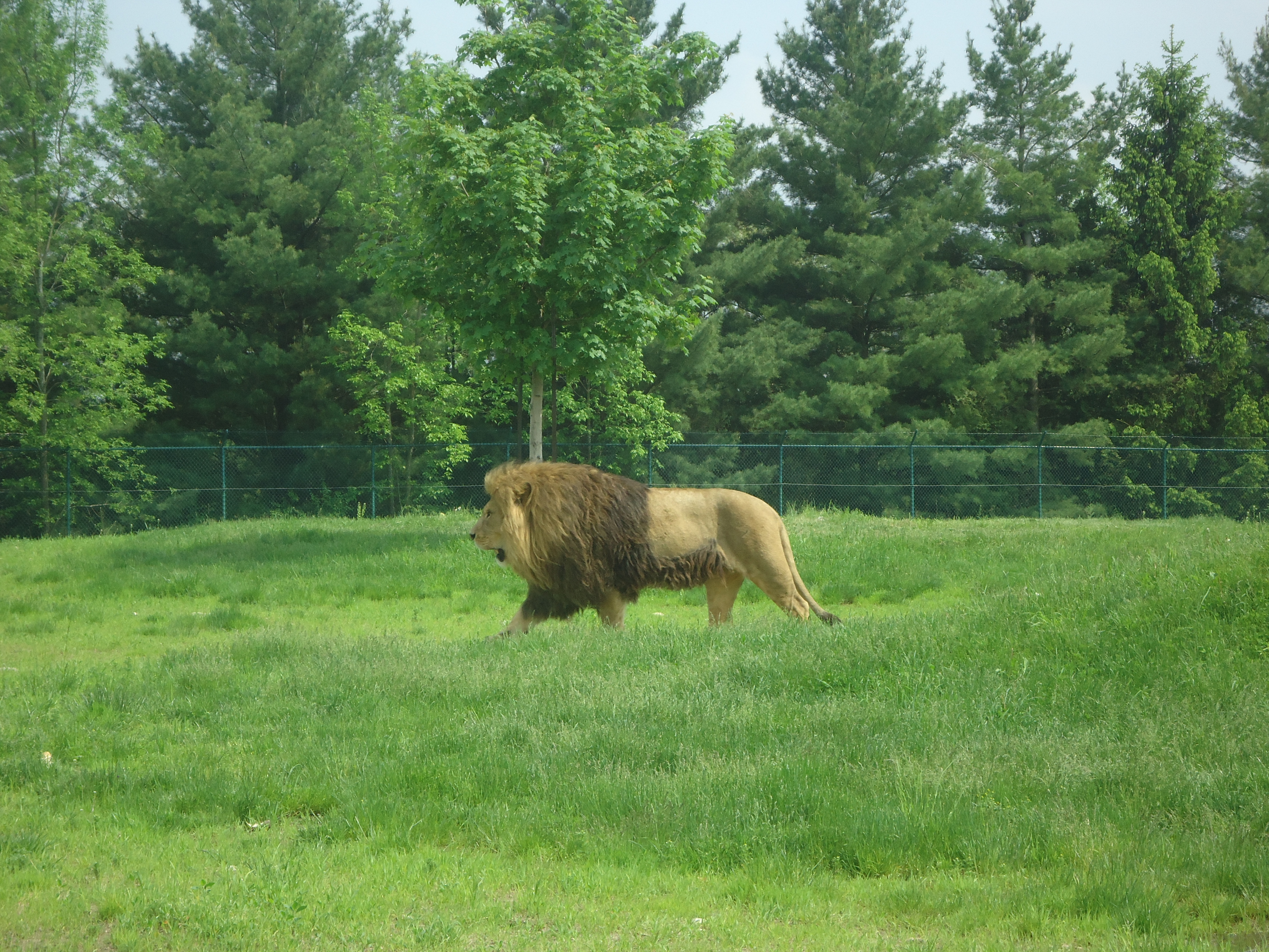 mountain lion habitat range with Lions Habitat on Lions Habitat furthermore 12 Cute Baby Animals Bring Fresh Mood together with Cougars In Tennessee Fact Or Fiction together with Cougar in addition Wildlife Officials Deny Mountain Lions Are Back In The Blue Ridge Mountains.