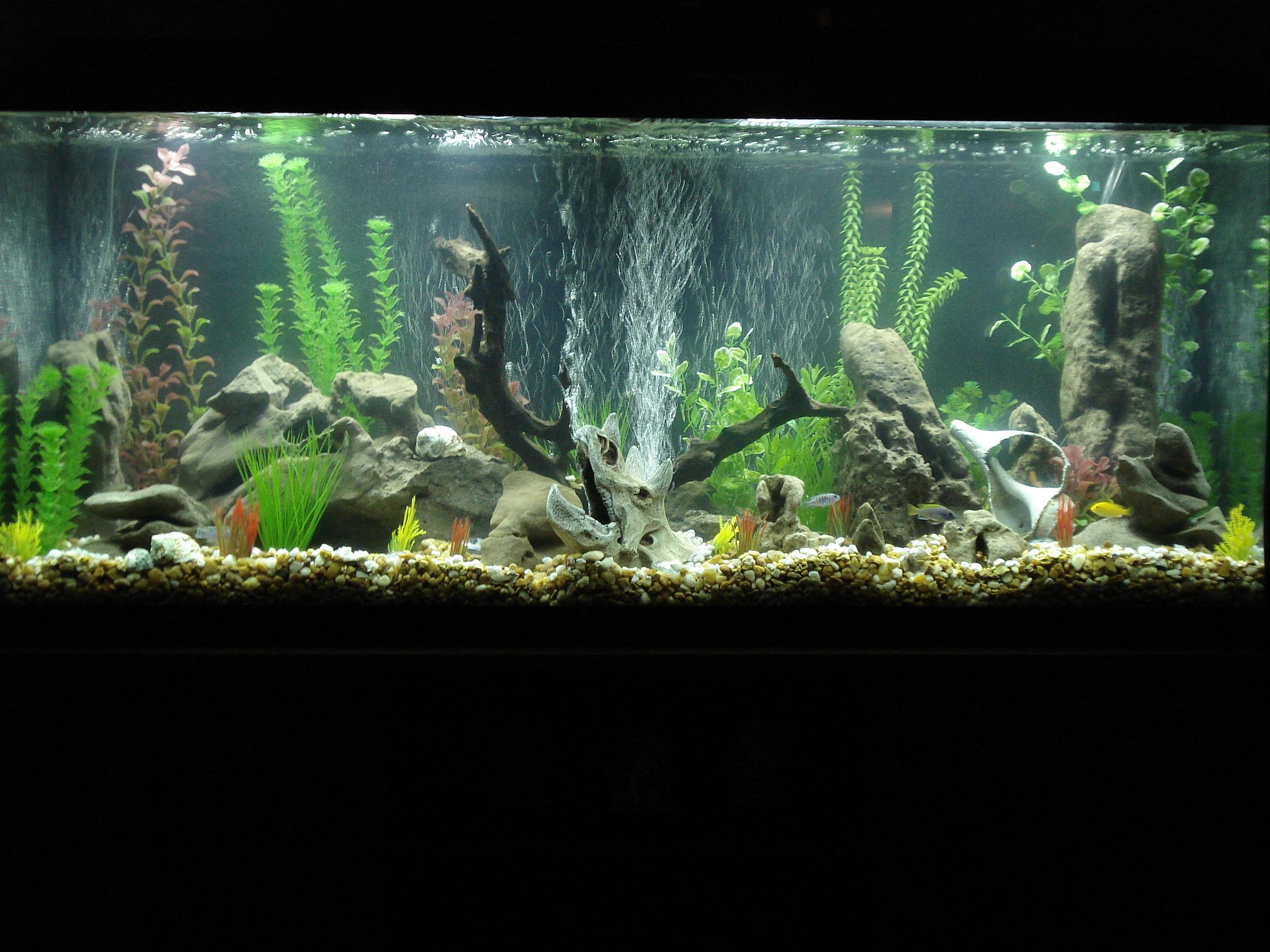55 gallon fish tank jewel cichlid tank for Cichlid fish tank