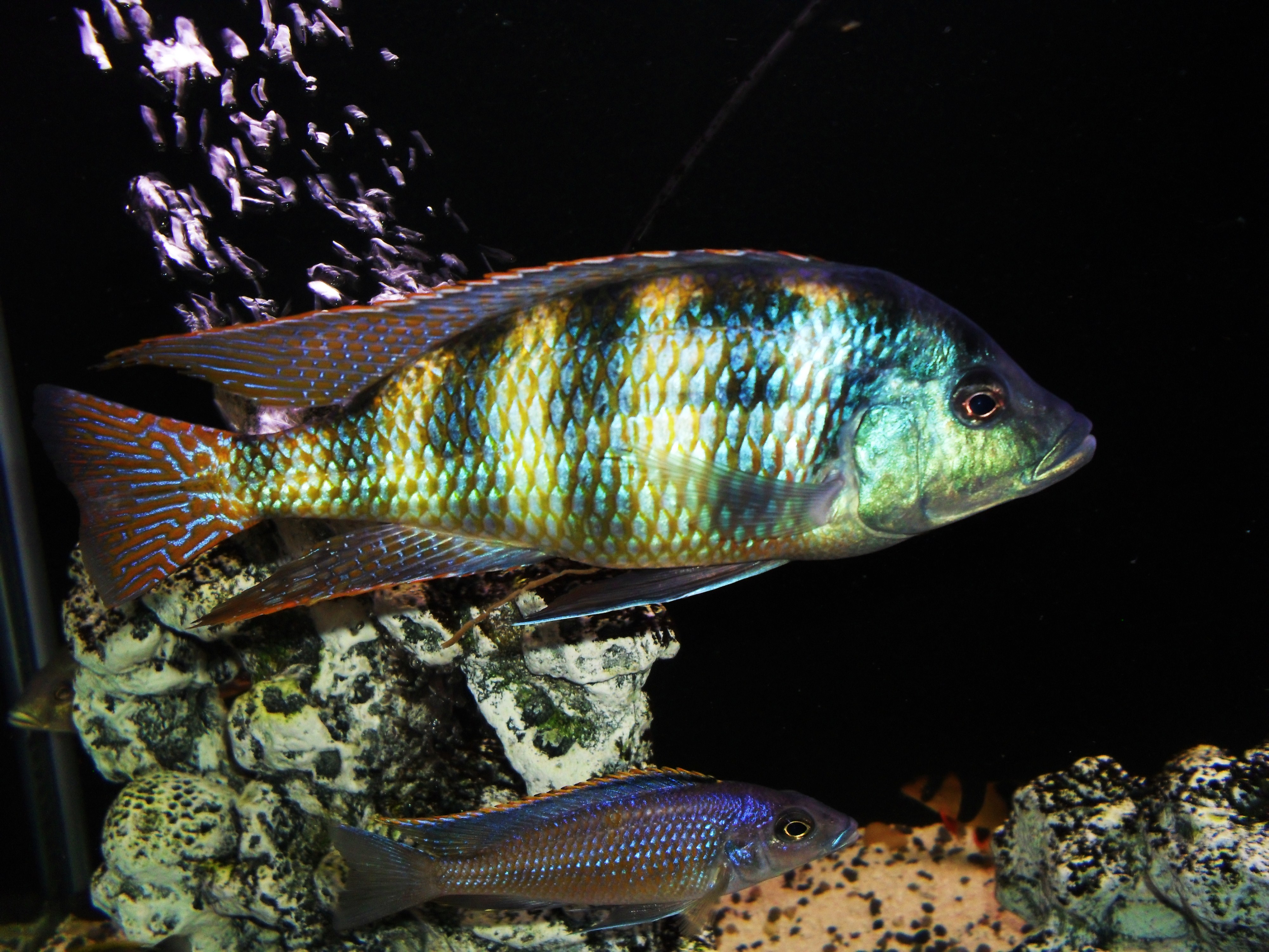 cichlids.com: Placidochromis Johnstoni