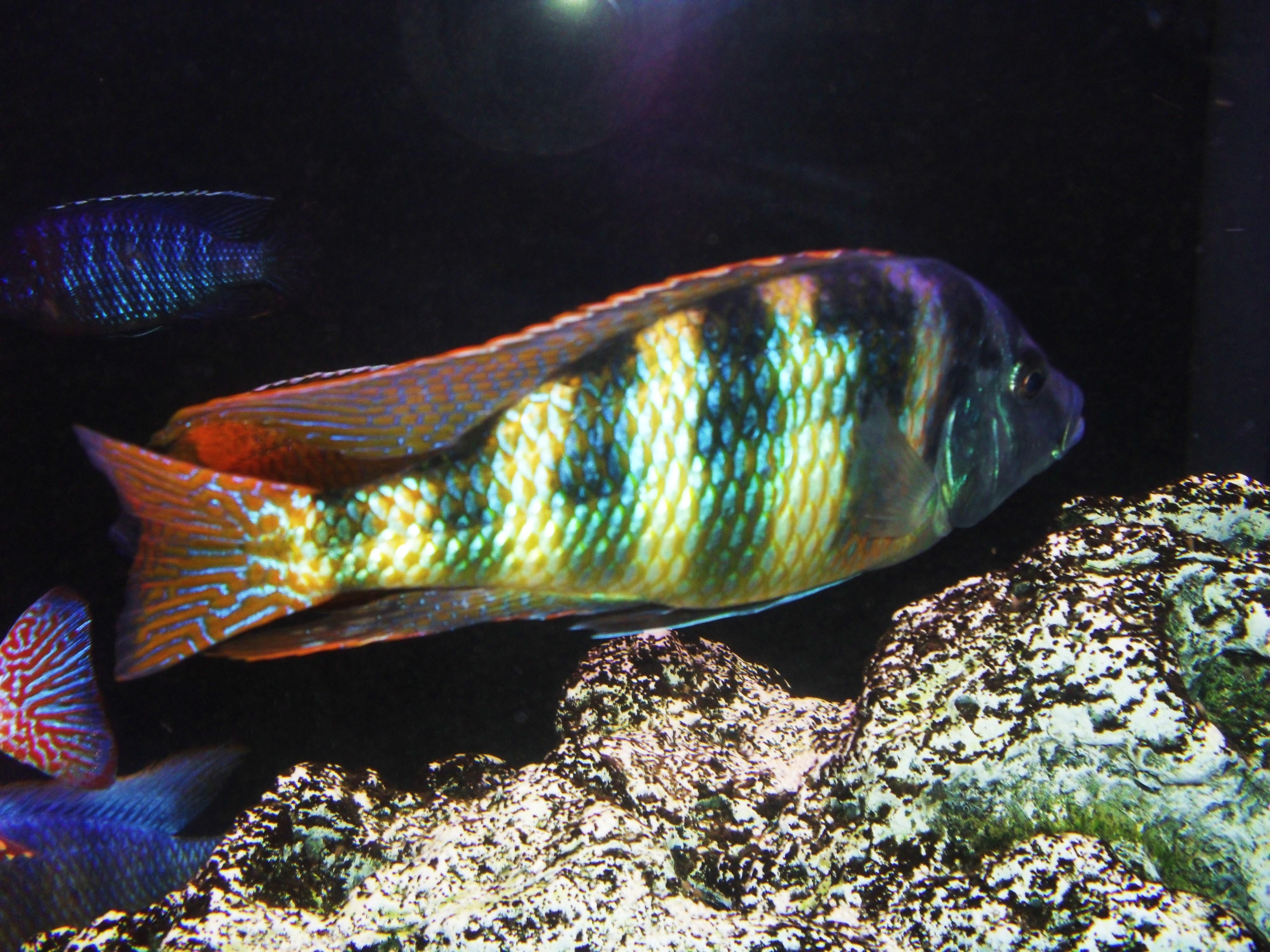 cichlids.com: Johnstoni
