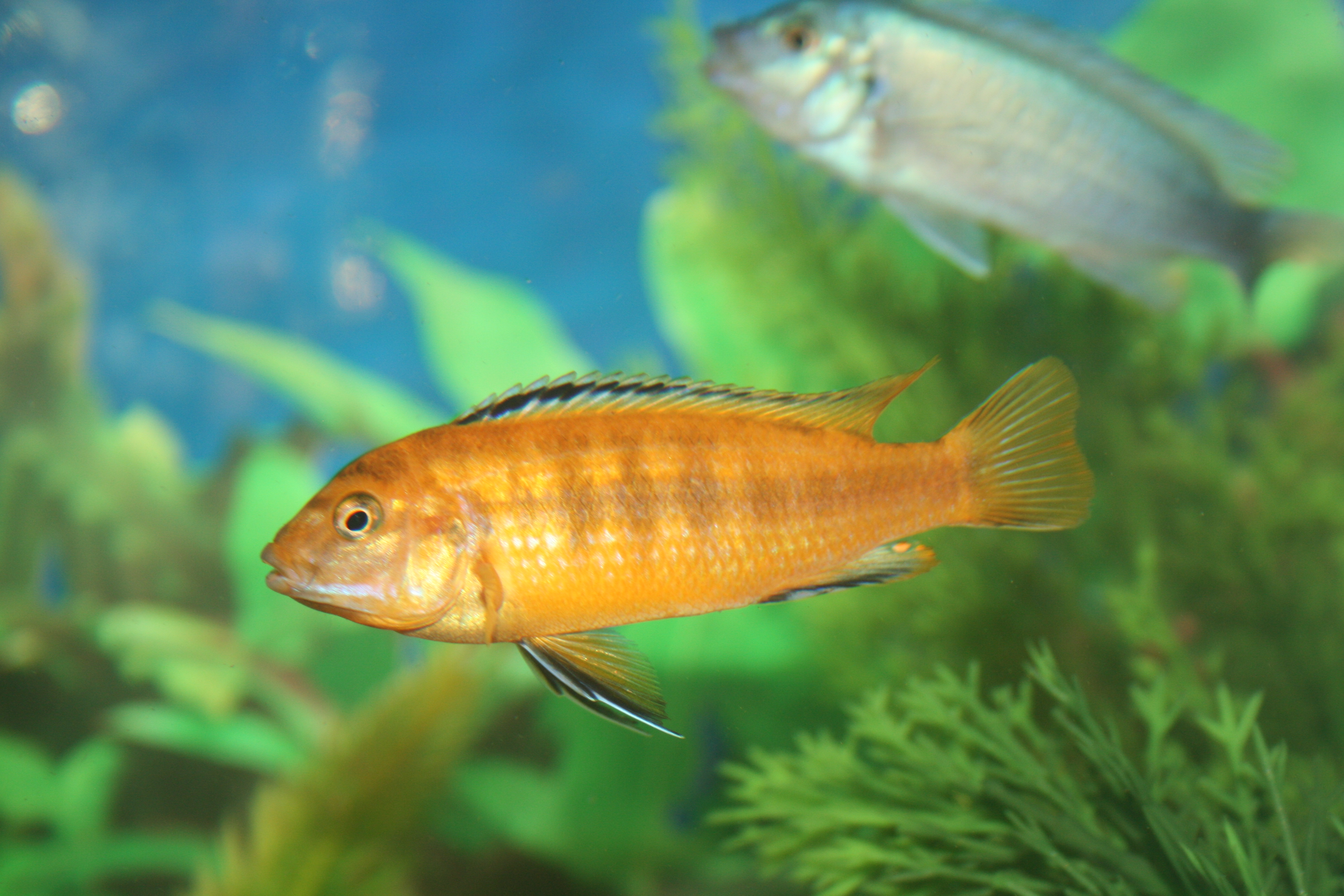 All information about Yellow Lab Cichlid - #catfactsblog