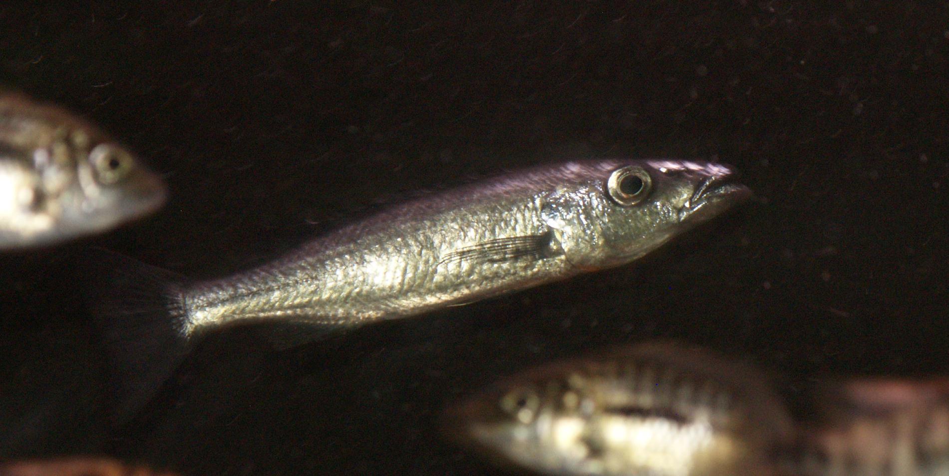 Malawi Barracuda