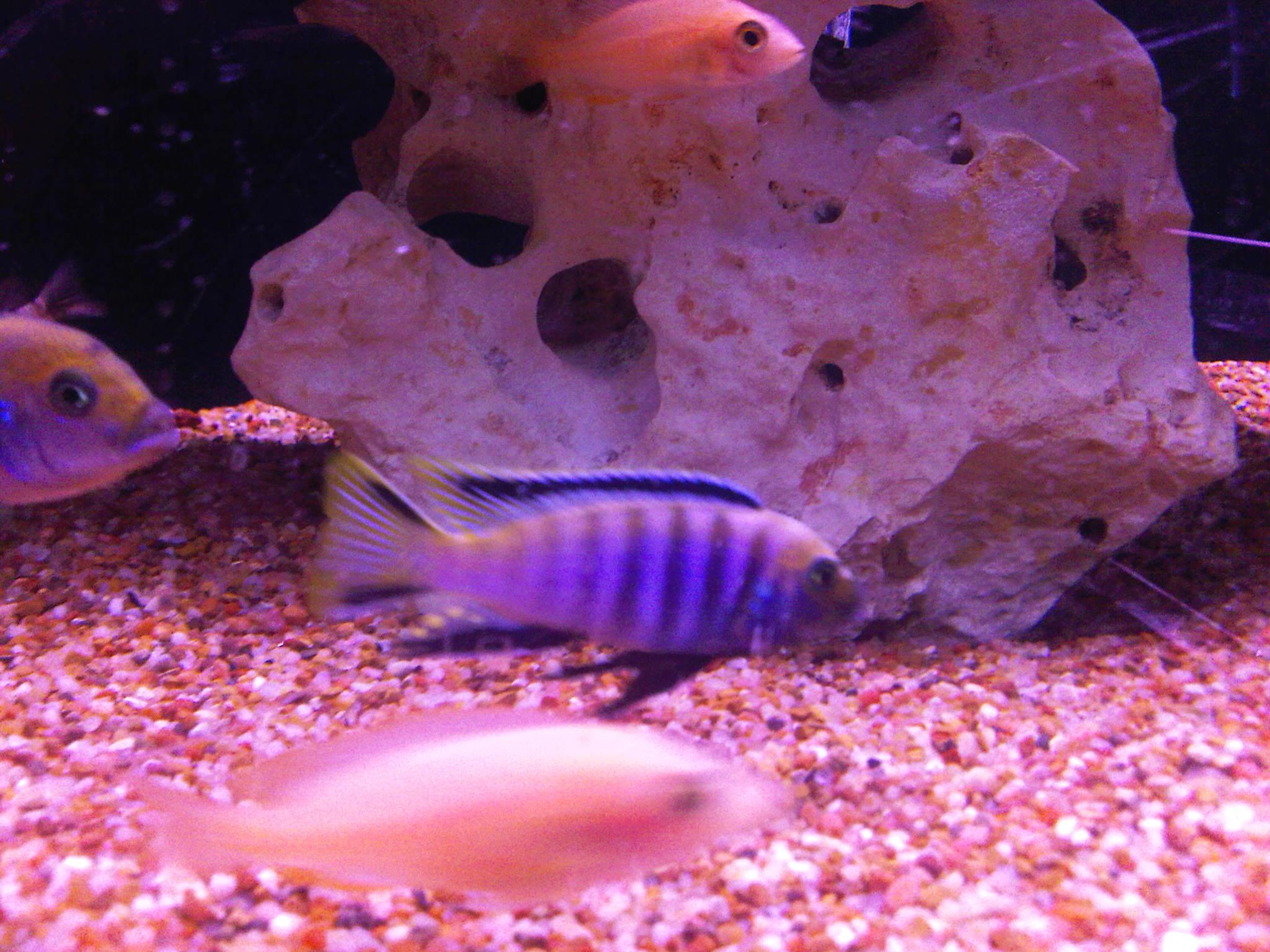 cichlids.com: F1 purple lion lupingu