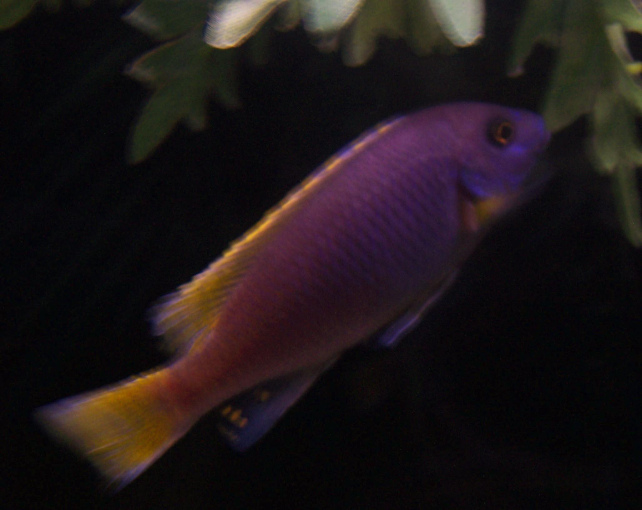 cichlids.com: Purple Haze