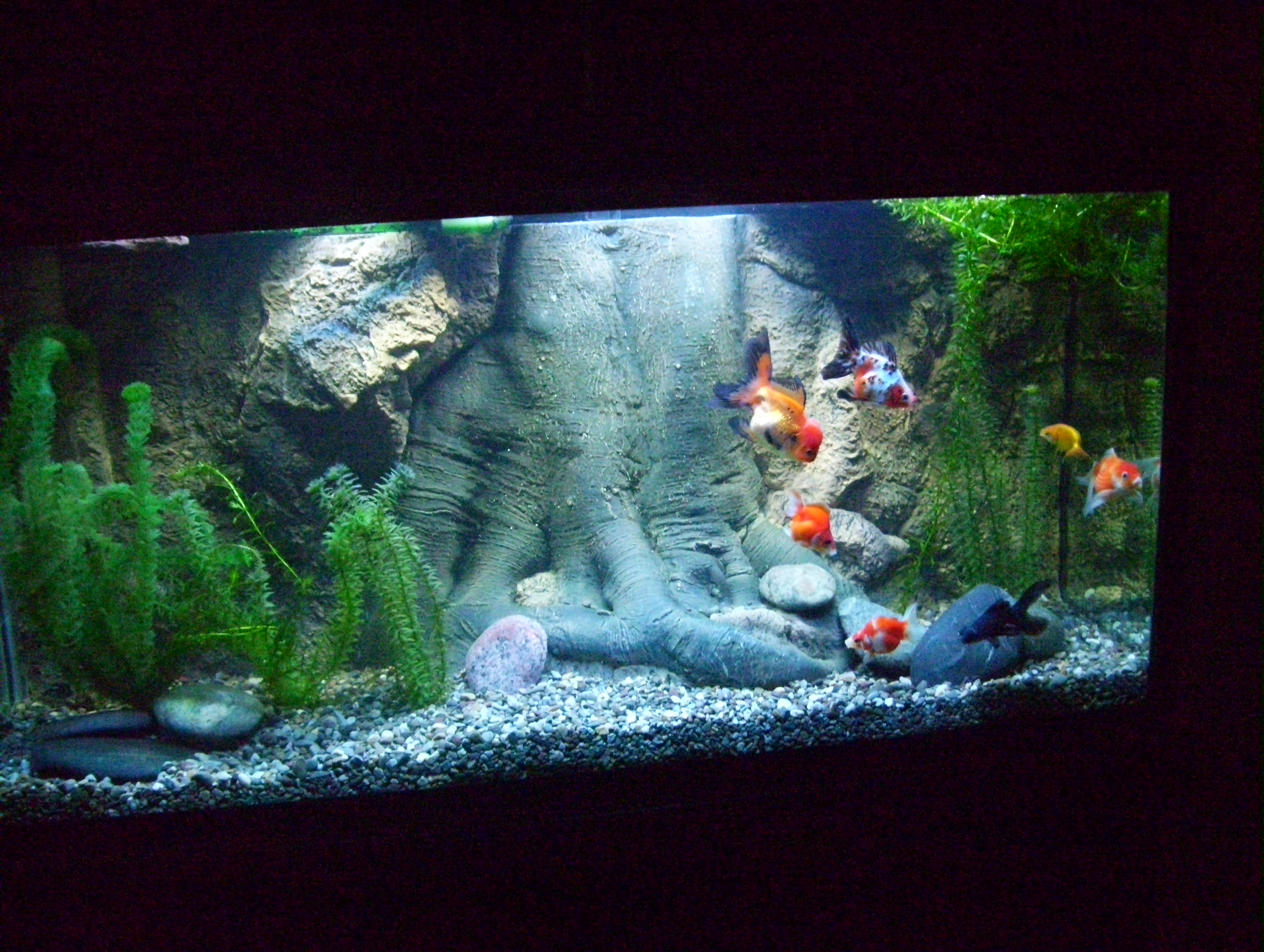 My son 39 s new 90 gal fancy goldfish tank for 10 gallon koi tank