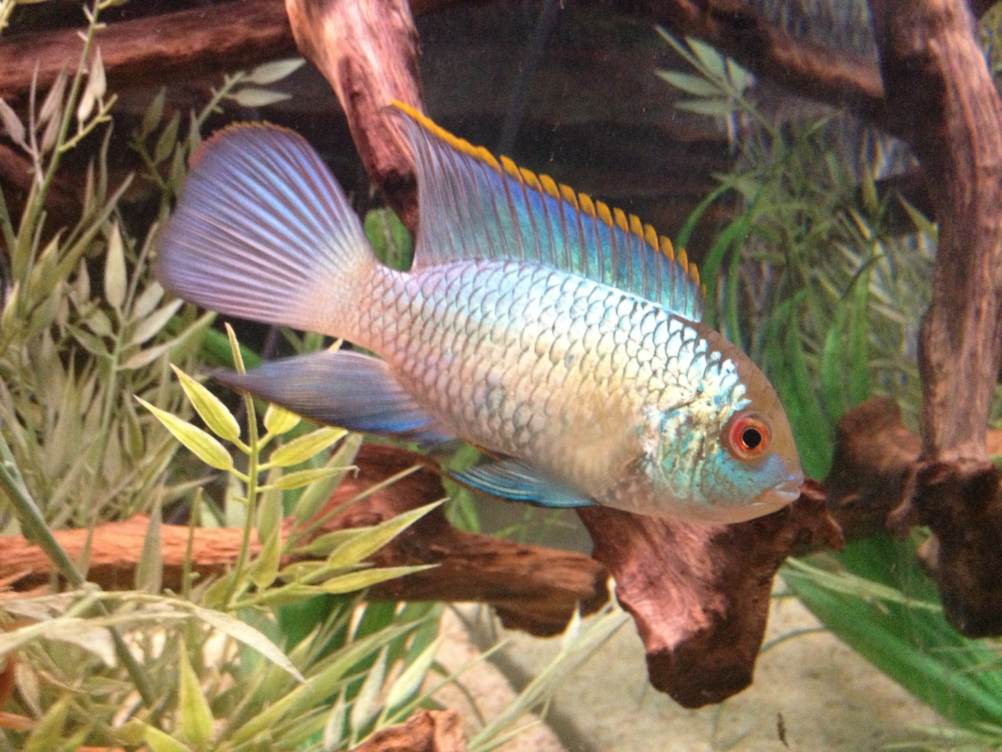 cichlids.com: Electric Blue Acara