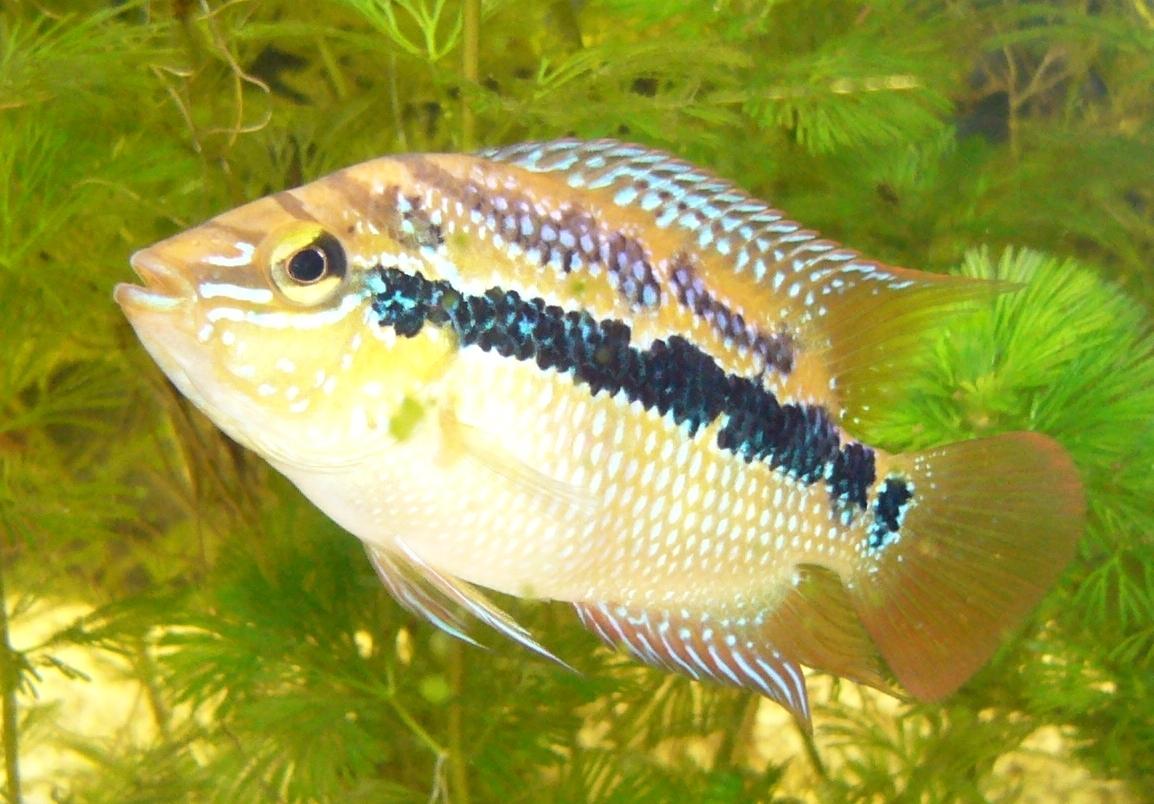 cichlids.com: My C. salvini male