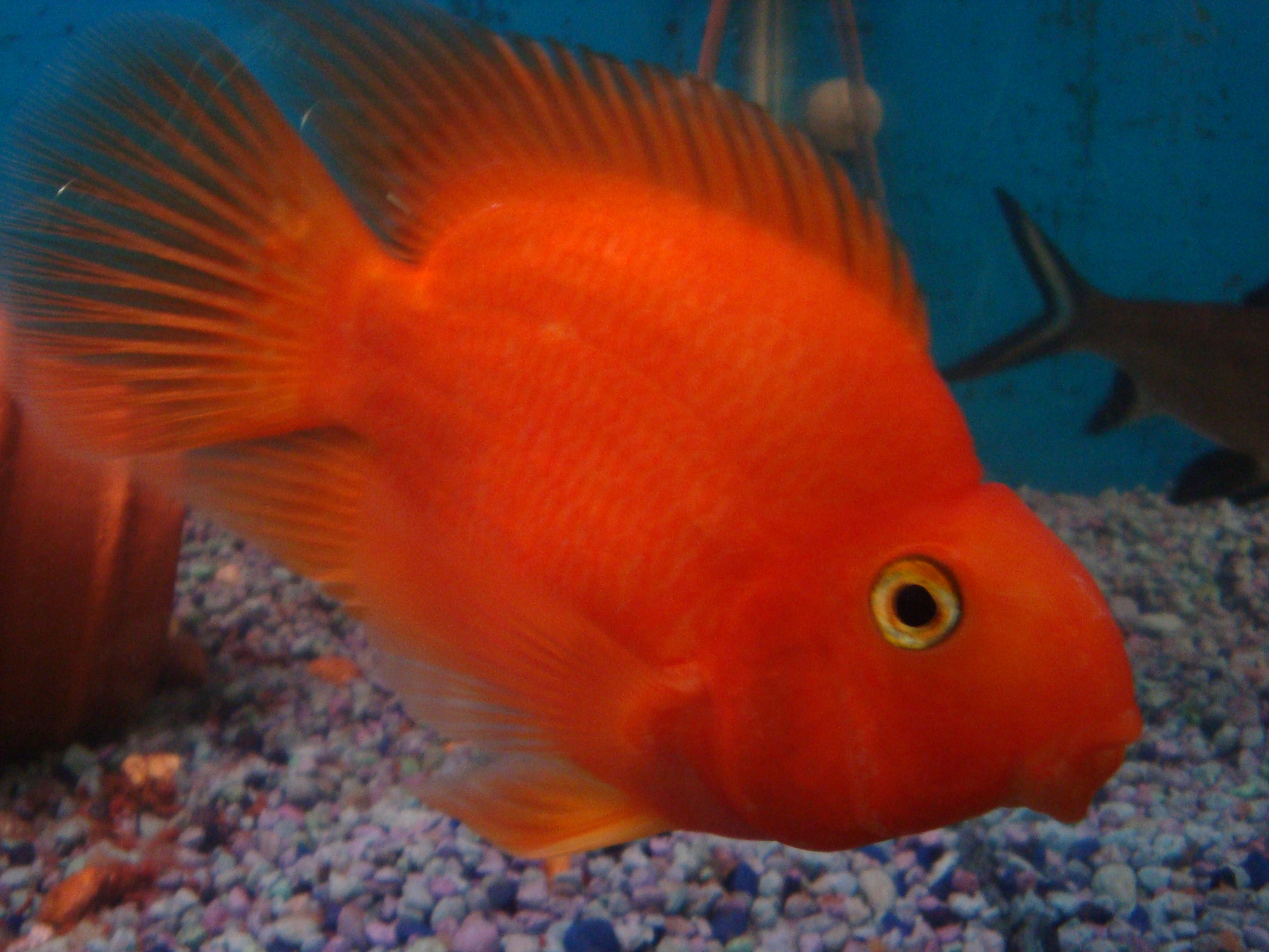 red parrot cichlids fishes
