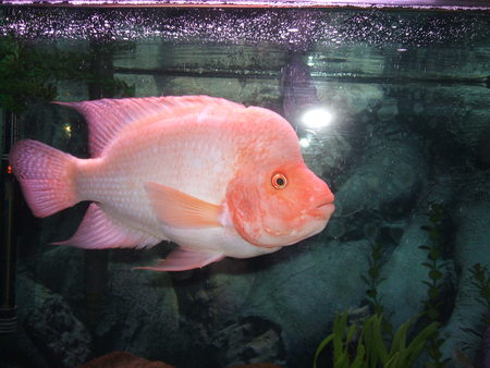 This is my red devil all grown up 1 month for Red devil fish