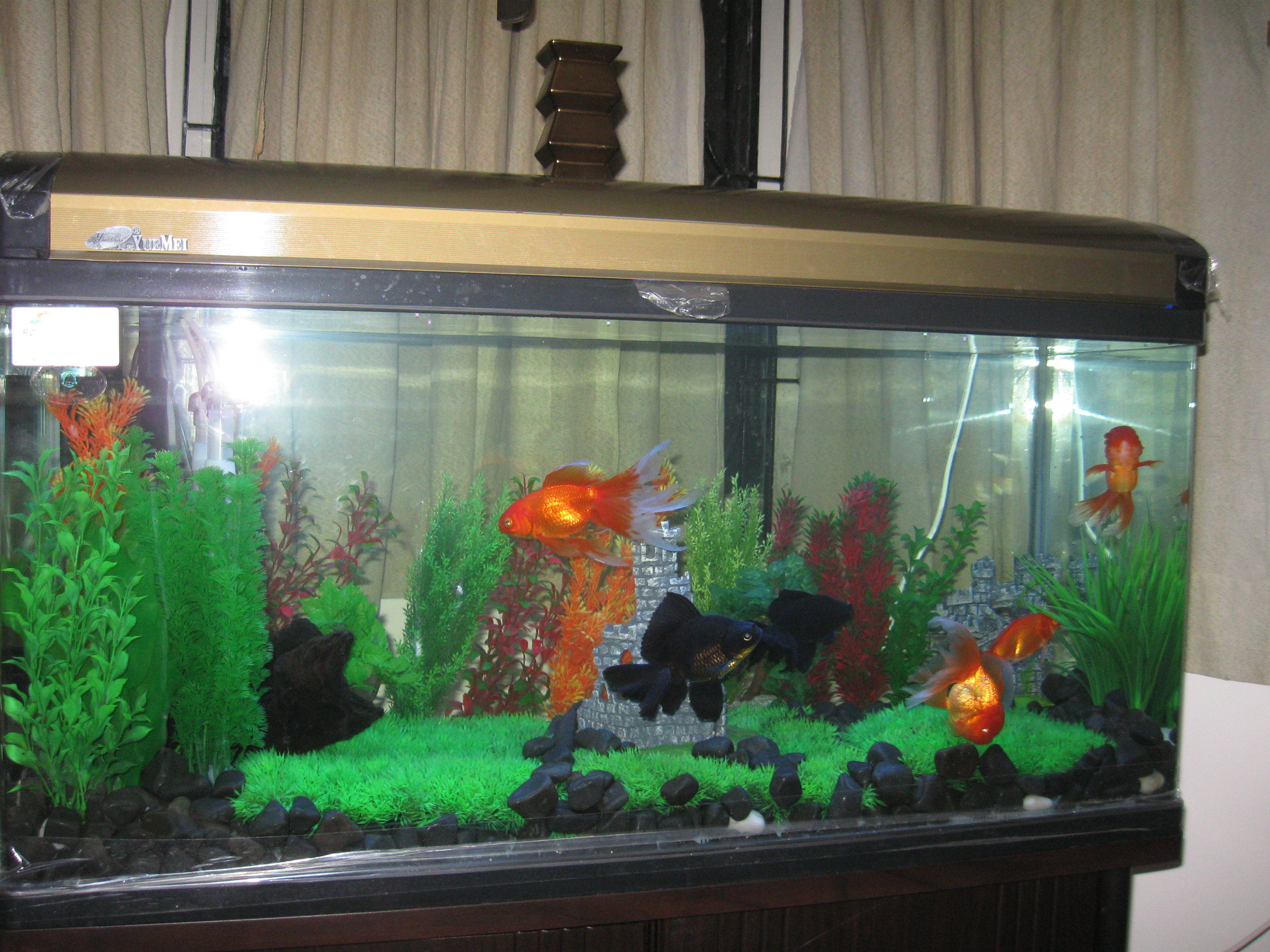 Aquarium fish tank in chennai - Gold Fish
