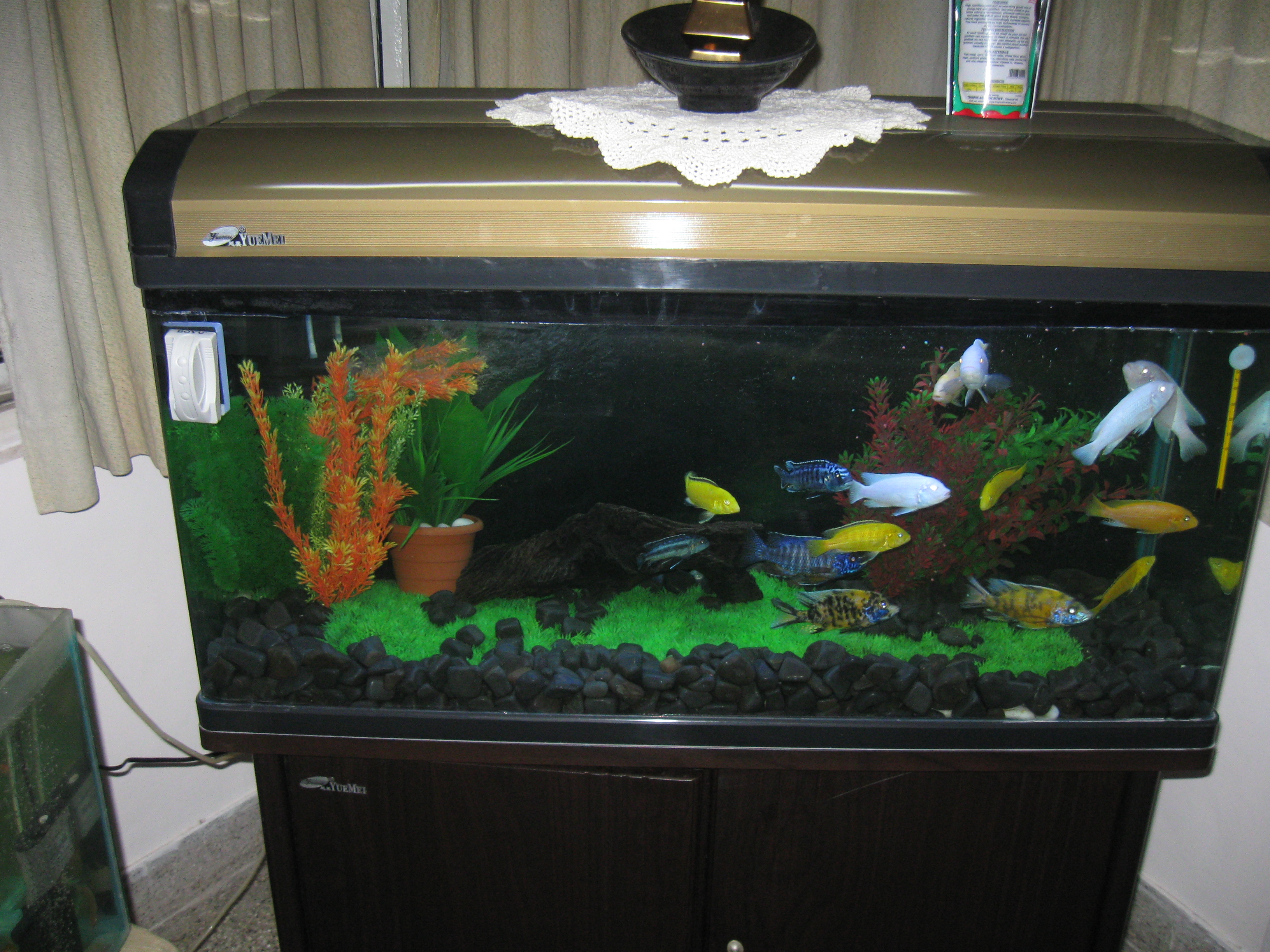 Aquarium fish tank in chennai - Cichlids