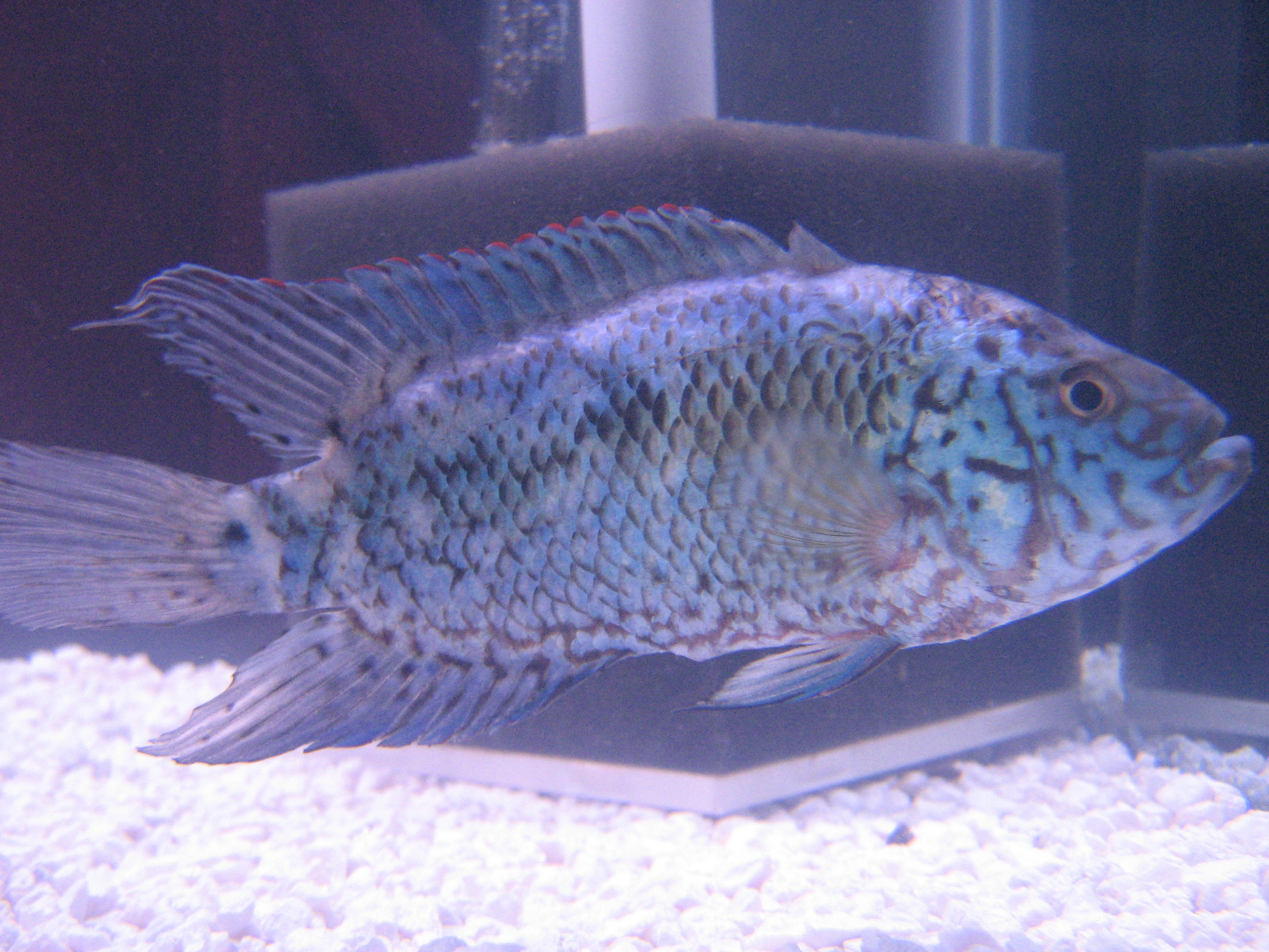 cichlids.com: Electric Blue Jack Dempsey: Sex?