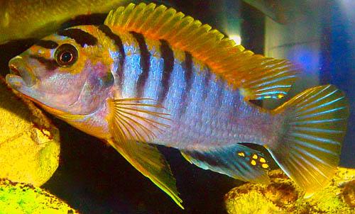 cichlids.com: labidochromis hongi