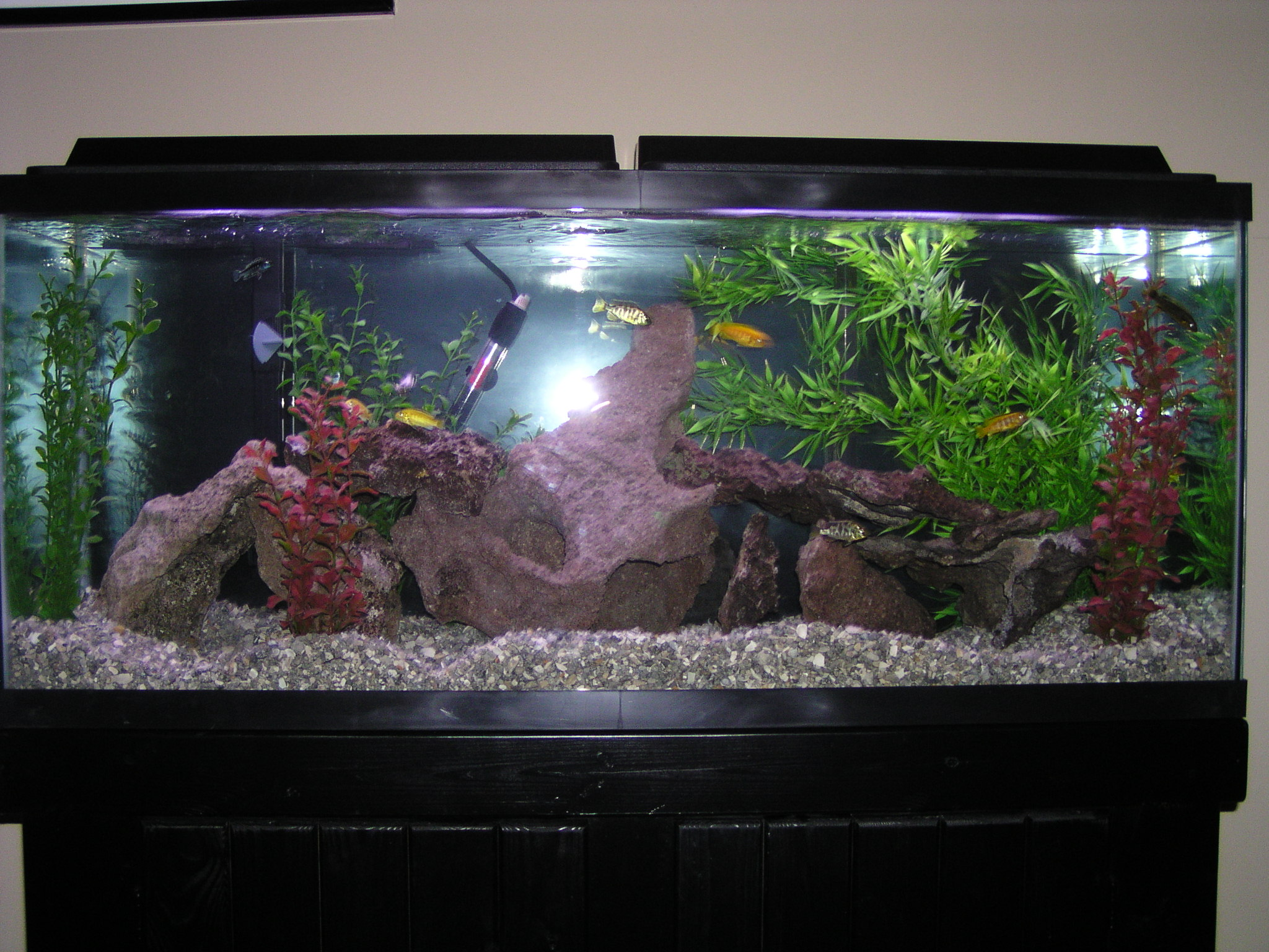 55 gallon fish tank how many cichlids 2017 fish tank for Fish tank cleaning service