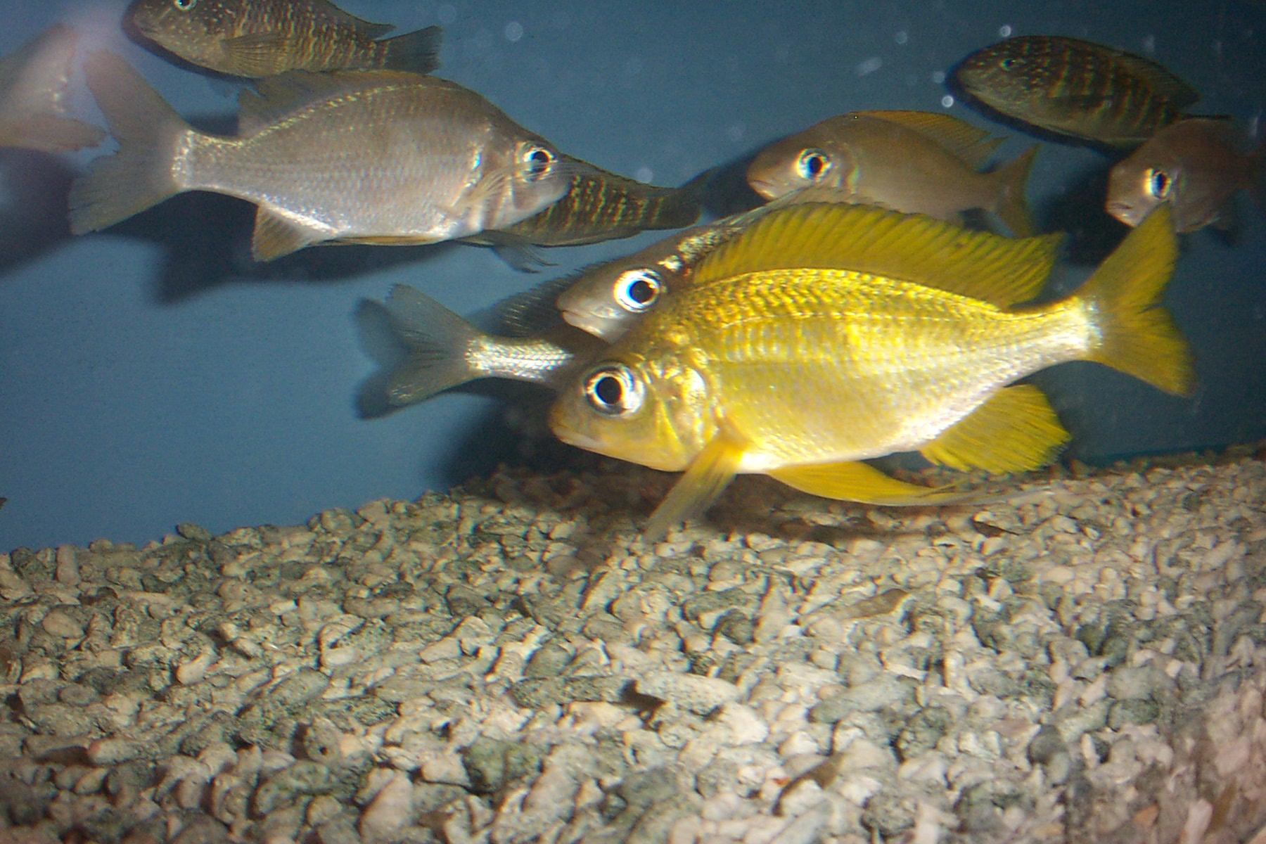 Картинки по запросу Ophthalmotilapia nasuta 'gold Ulwile'