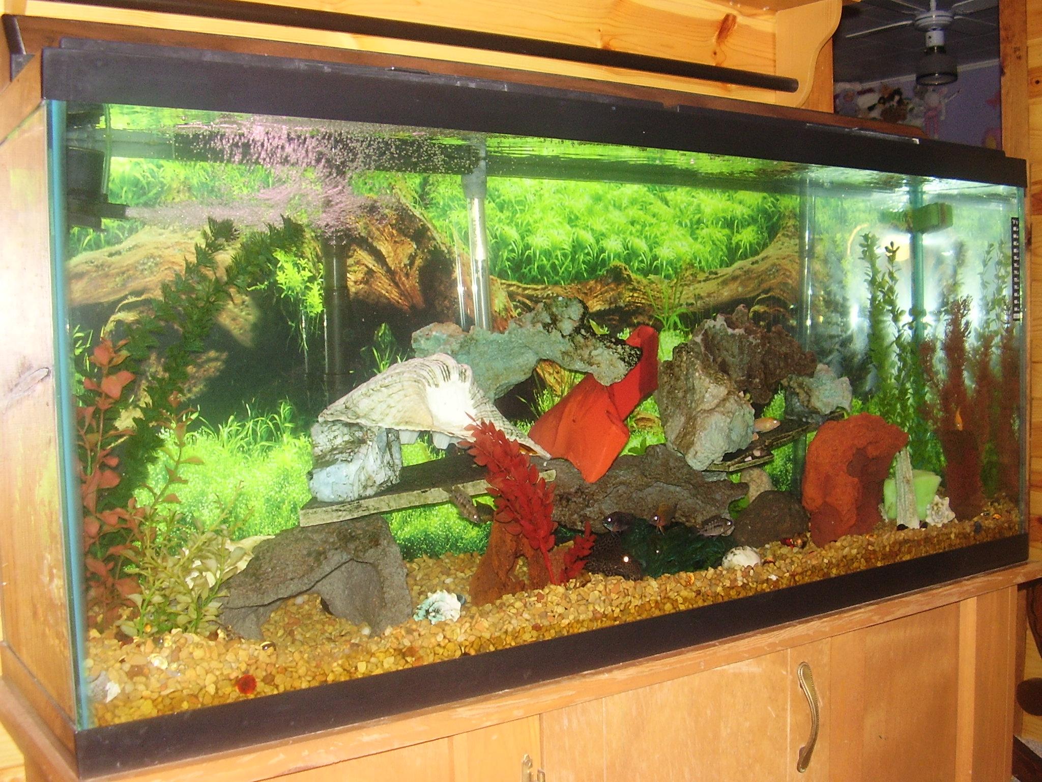 My 60 gallon cichlid tank for 60 gallon fish tank
