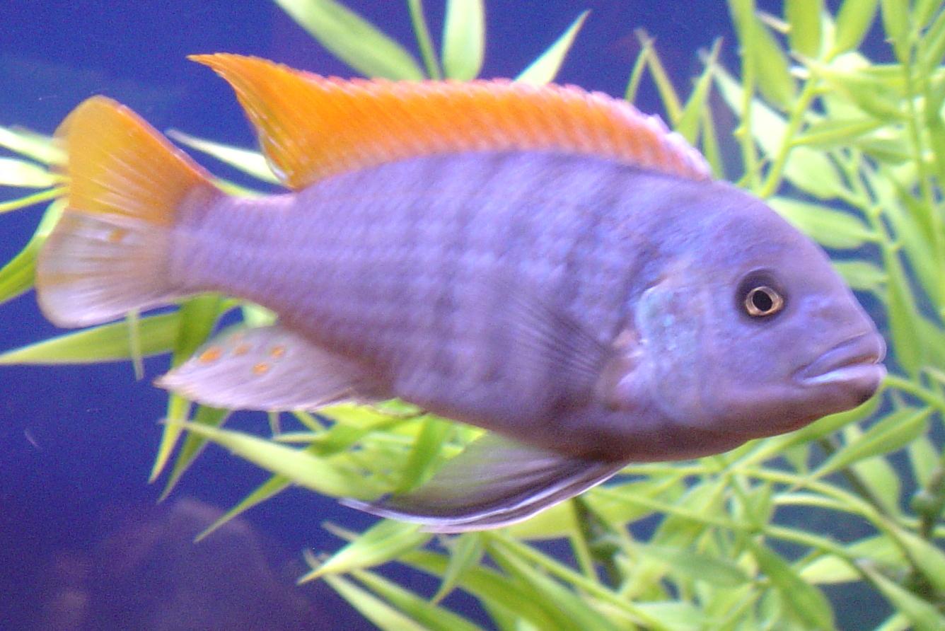 African cichlid types
