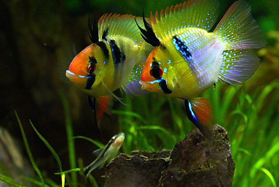 cichlids.com: Blue Ram - Dwarf Cichlid