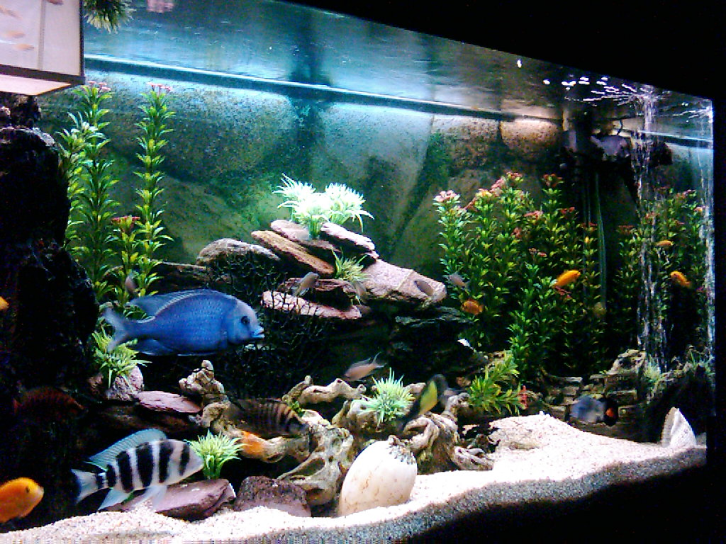 Cichlids from lake tanganyika and lake malawi 1 for What do i need for a fish tank