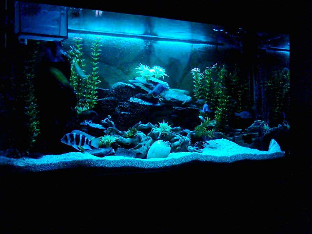 Cichlids from lake tanganyika and lake malawi 3 for African cichlid tank decoration
