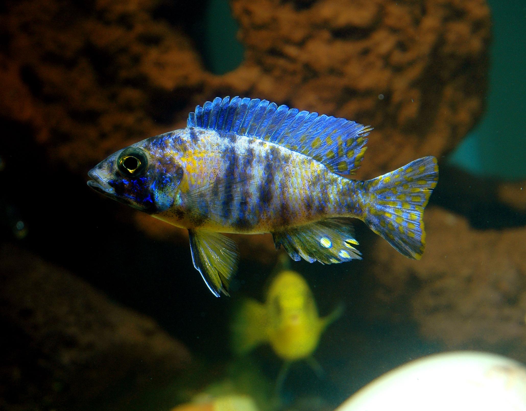 cichlids.com: Orange Blotch Peacock