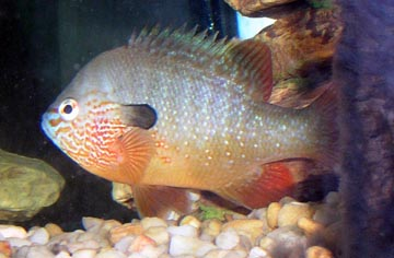 Bluegill for Bluegill fish tank