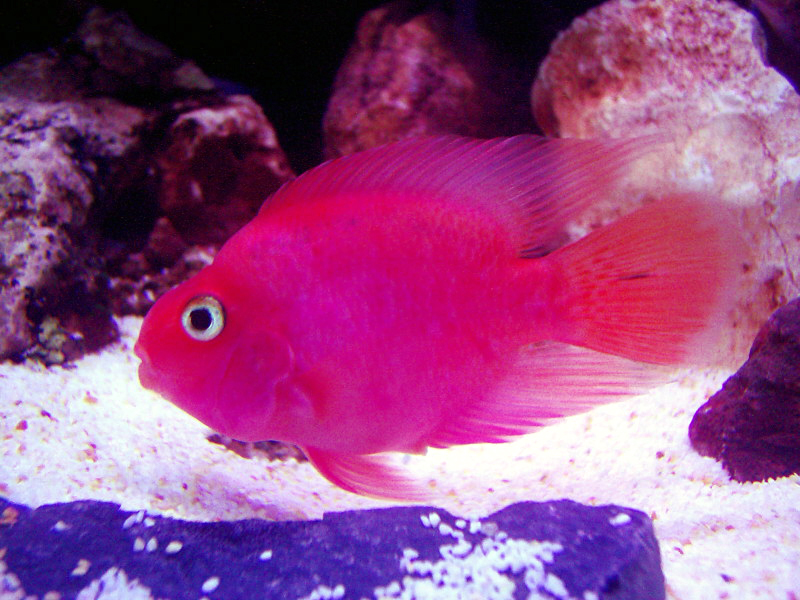 My red parrot for Red parrot fish