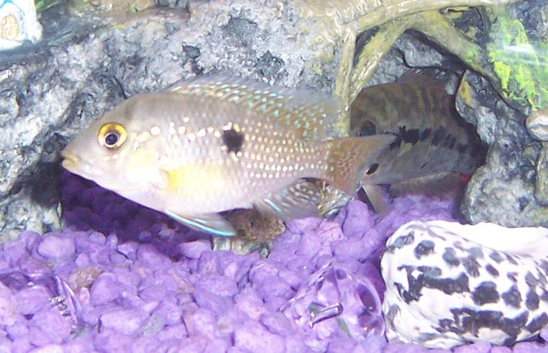 Pearl Eartheater (Geophagus Brasiliensis), beautiful fish. Female Wolf ...