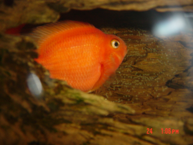 Cichlid Fish Eggs Parrot Fish Laying Eggs