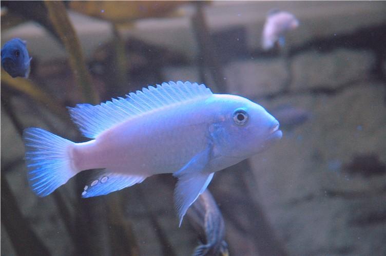 cichlids.com: Metriaclima Callainos ,Pearl (Likoma)
