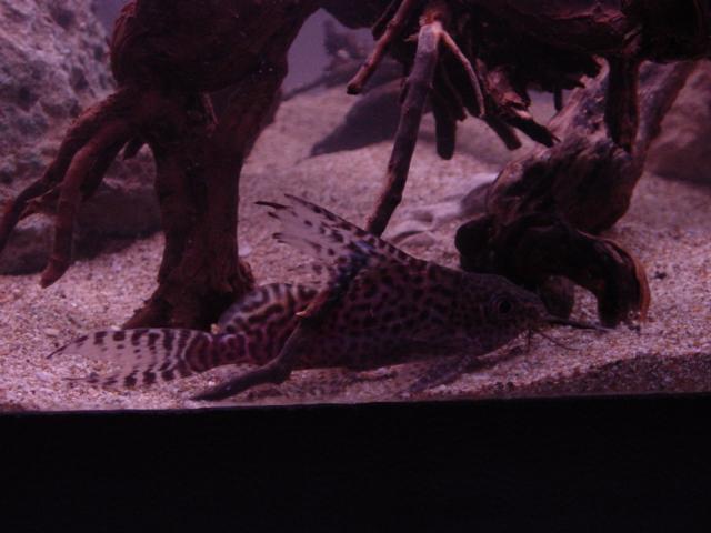 cichlids.com: synodontis nigriventris