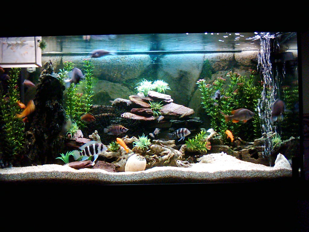 Cichlids from lake tanganyika and lake malawi 2 for Lake tanganyika fish